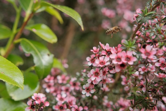 Manuka flowers with happy bee