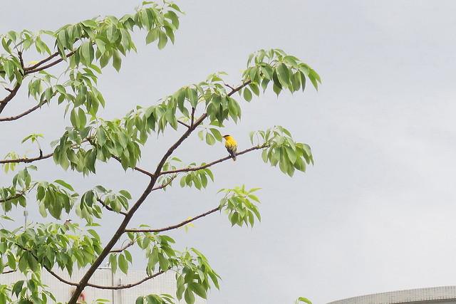 【防疫日誌23】夏至,黃鸝鳴叫