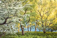Hawthorn and Birch