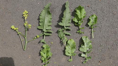 Virus symptoms hedge mustard sequence