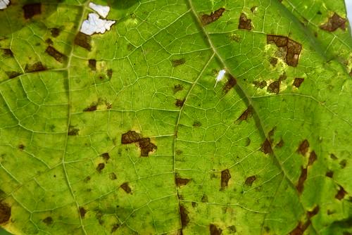 Angular leaf spots thorugh lamina