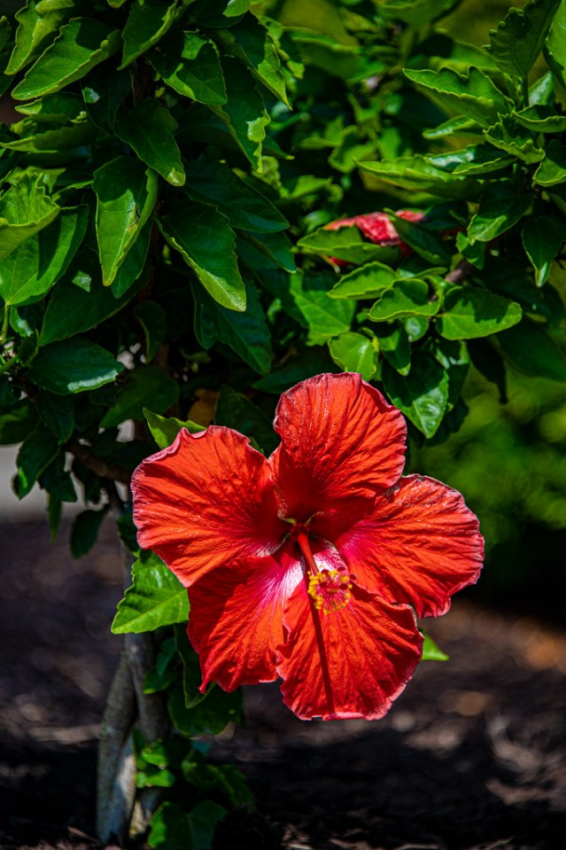 The first Hibiscus flower of the year!