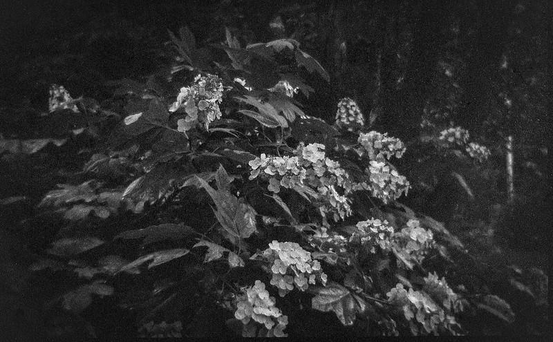 blooming hydrangea, yard, Asheville,  NC, Bencini Koroll 24S, Fomapan 200, Ilford Ilfosol 3 developer, 6.18.21