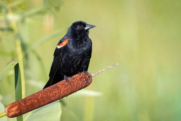 Blackbird on a bulrush