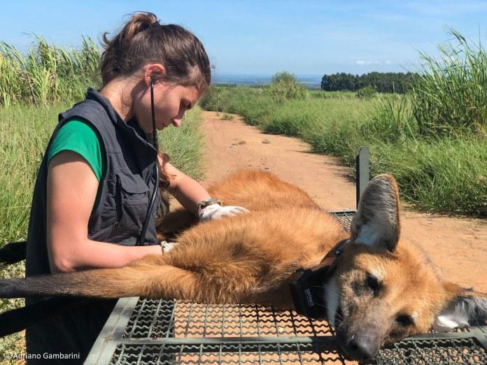 2 新熱帶界肉食性動物研究所(Pró-Carnívoros)的獸醫芙拉維亞‧菲奧里正在替一隻鬃狼進行檢查。影像來源:阿德里安諾‧岡巴里尼(Adriano Gambarini)