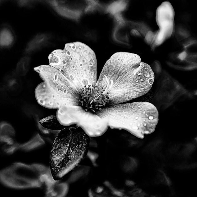 A goth flower with dark petals!