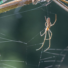 Long spider