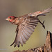 Male Cassin's Finch Takes Flight From A Perch