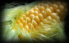 Kukuruz / Corn (Zea mays)