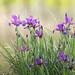 Iris maritime (Iris reichenbachiana)
