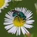 A Jewel Wasp, I Do Believe