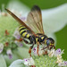 Five-Banded Thynnid Wasp