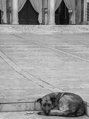 Athens street dog