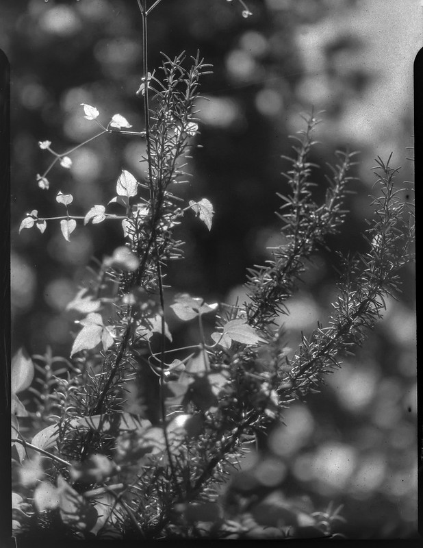 young leaves, sunlit, vines, conifer needles, yard, Asheville, NC, Folmer Graflex R.B. Series B, 3.25 x 4.25 large format sheet film camera, Kodak Anastigmat f-4.5, HC-110 developer, 8.16.21