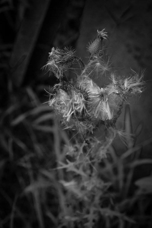 thorny, thistley floral cluster, river district, Asheville, NC, Nikon D3300, nikon nikkor 55mm f-3.5, 8.23.21