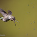 With Beak Wide Open Female Anna's Hummingbird Tries To Capture Water Droplets in Mid Air