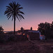 Palmier solitaire dans la garrigue du Salento
