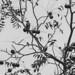 Woodpecker Noir
