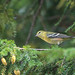 Bay-Breasted Warbler (4)