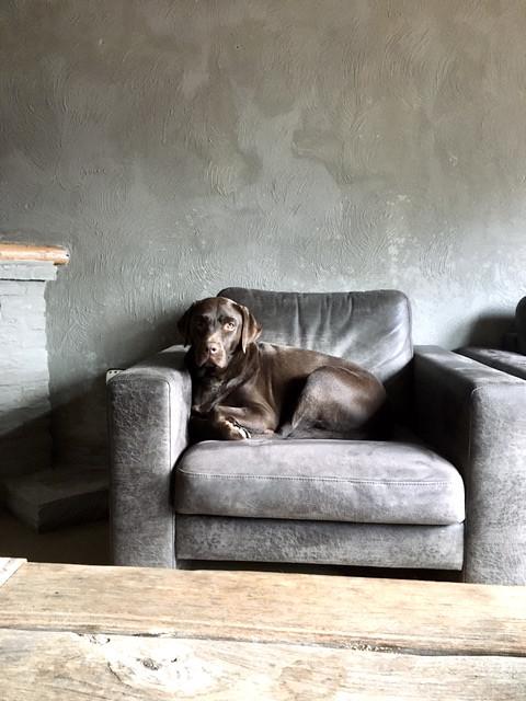 Bruine labrador in landelijke fauteuil