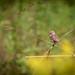 Field Sparrow?