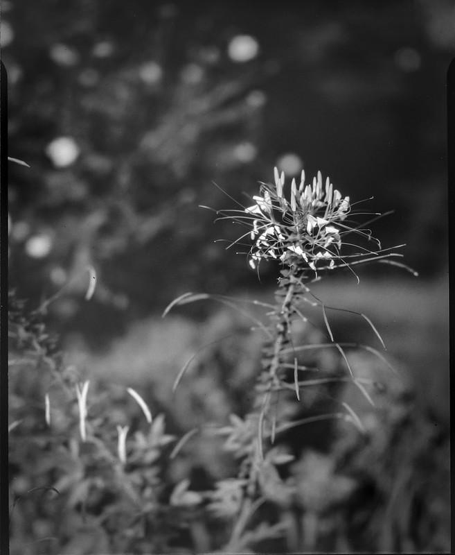 blossom, knapweed, Asheville, NC, Folmer Graflex R.B. Series B, Kodak Anastigmat f-4.5, 3x4 sheet film, HC-110 developer, 8.16.21