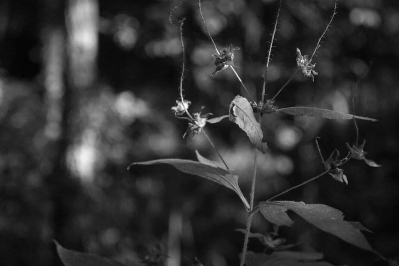 wild plant forms, thorns, Craggy Park, Asheville, NC, Nikon D3300, nikon nikkor 55mm f-3.5, 9.25.21