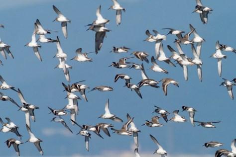 ハマシギの飛翔