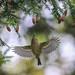Kinglet In Flight