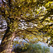 Maple Tree at the Aare