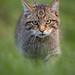 Scottish Wildcat (Explored)