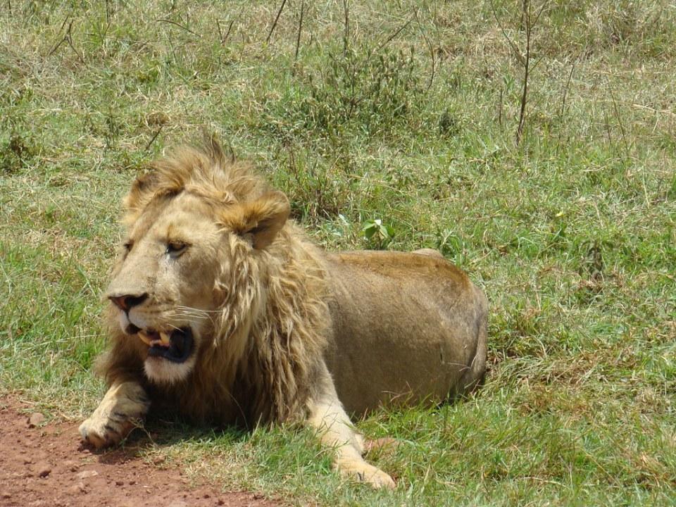 Leon Safari Area de Ngorongoro Tanzania 12