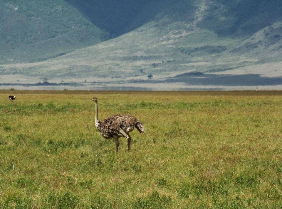 Avestruz Safari Area del Crater del Ngorongoro Tanzania 47