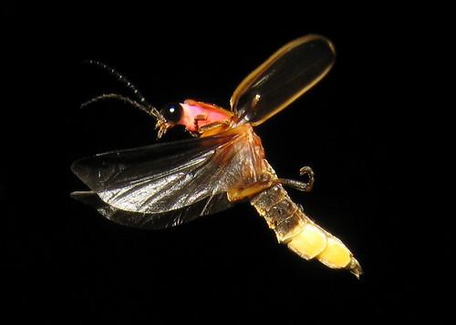 lightning bug 8758