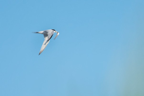 Least Tern in flight with minnow