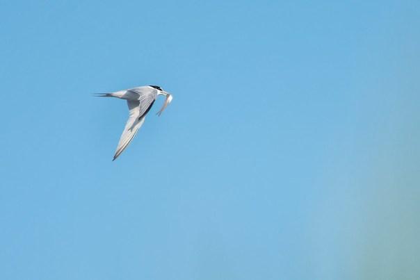 Least Tern in flight with minnow