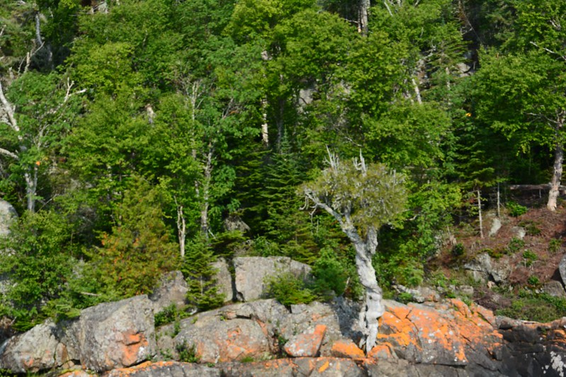 Witch tree in rock