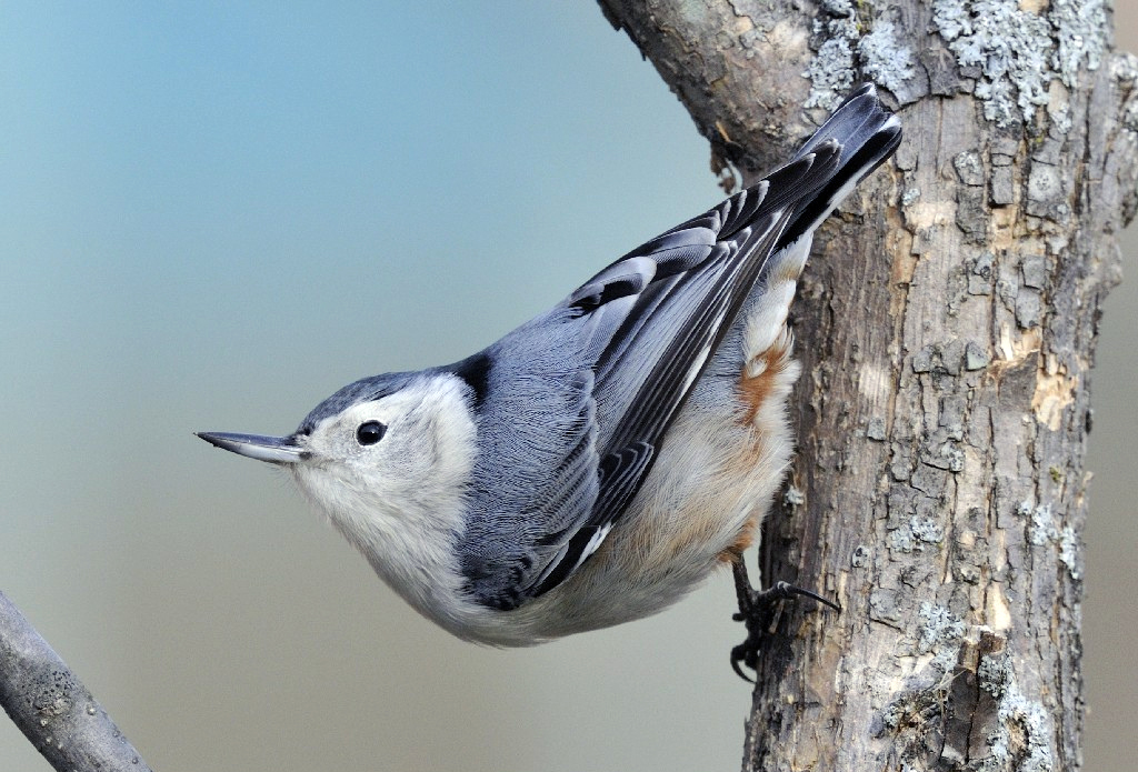 Photo of the Week - White-breasted Nuthatch (MA)