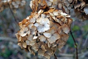 Hydrangea flower head in winter