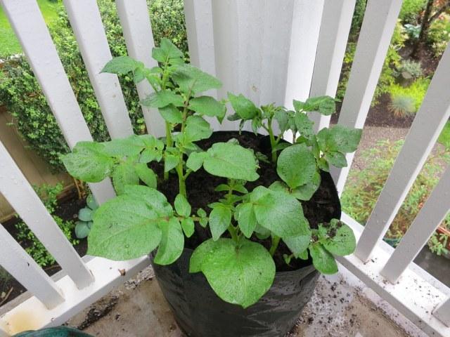 pomme de terre qui poussent dans un sac noir au balcon