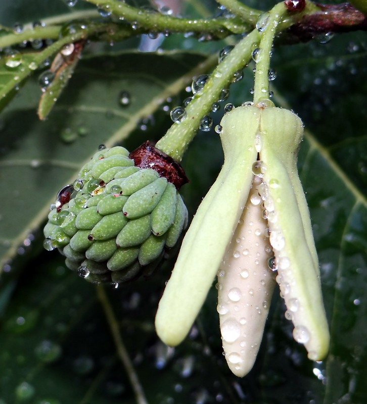 SUGAR APPLE  #13   /  (Bengali = আতা)