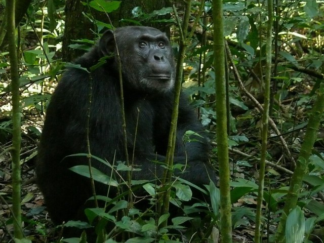 eastern chimpanzee, the scientific name Pan troglodytes schweinfurthii
