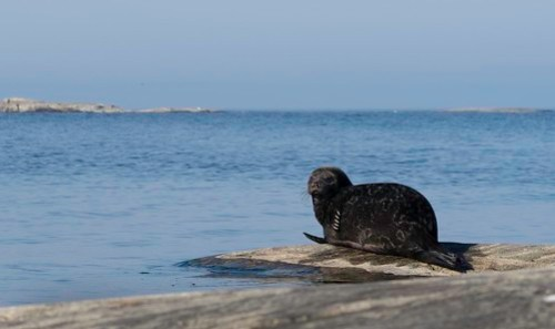ringed seal Ladoga Lake