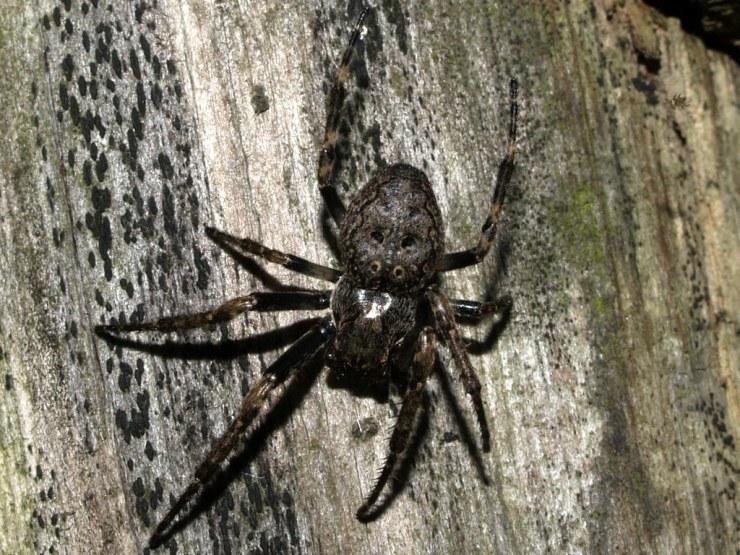 Nuctenea umbratica | Class: Arachnida. Subclass: Micrura. In… | Flickr