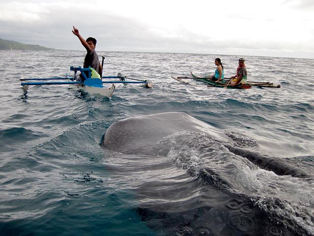 Whale shark watching in Oslob, Cebu