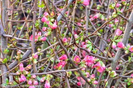 Salmon Quince Chinese New Year Branches