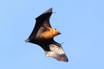 Seychelles Fruit Bat | Jon Irvine | Flickr