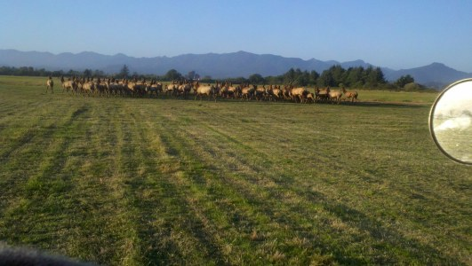 wild elk on our flower farm
