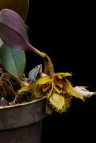 Bulbophyllum dayanum [14/4/2014]-[1]