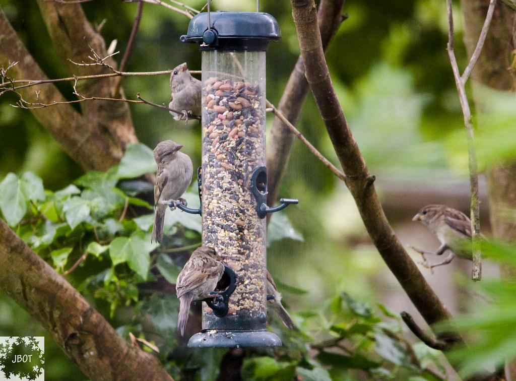 Garden Sparrows